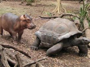 Turtle and baby hippo walking together